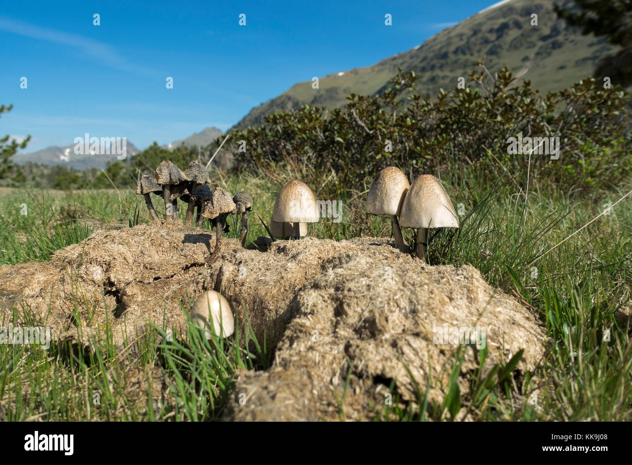 Mushrooms growing in cow shit - Stock Image