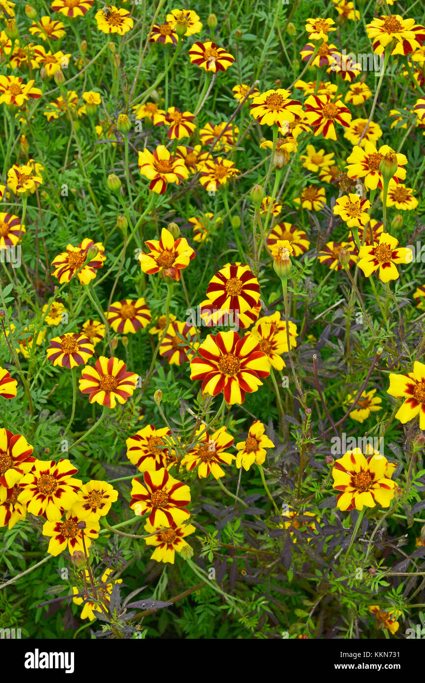 Close up of colourful flowering Tagetes patula 'Jolly Jester' in a country garden - Stock Image