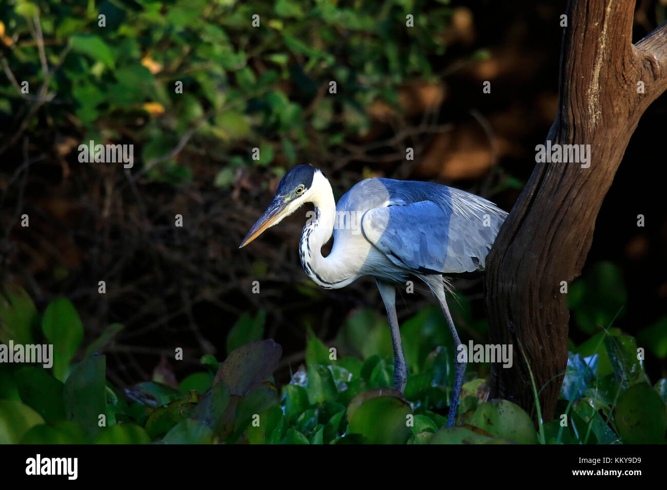 Cocoi Heron at Rio Claro. Pantanal, Brazil - Stock Image