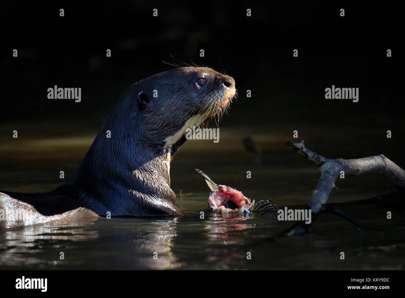 Giant Otter Feeding in the River. Pantanal, Brazil - Stock Image