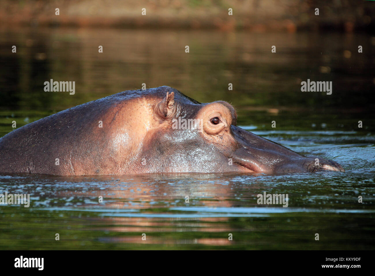Hippopotamus (Hippopotamus Amphibius) in the Water, looking over the Surface. Lake Mburo, Uganda - Stock Image
