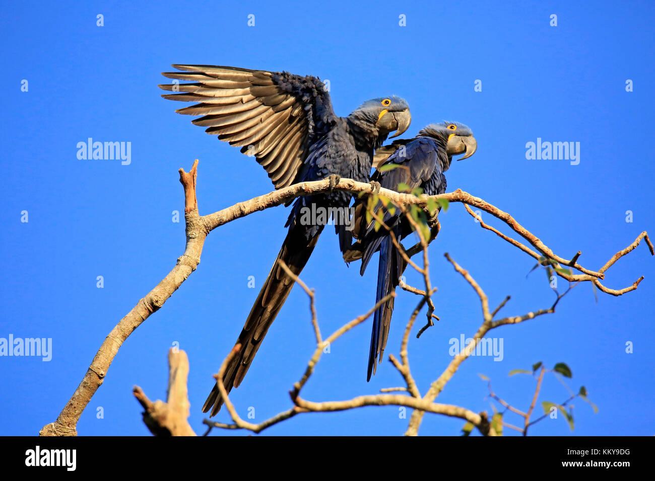 Two Hyacinth Macaws on a Branch. Pantanal, Brazil - Stock Image