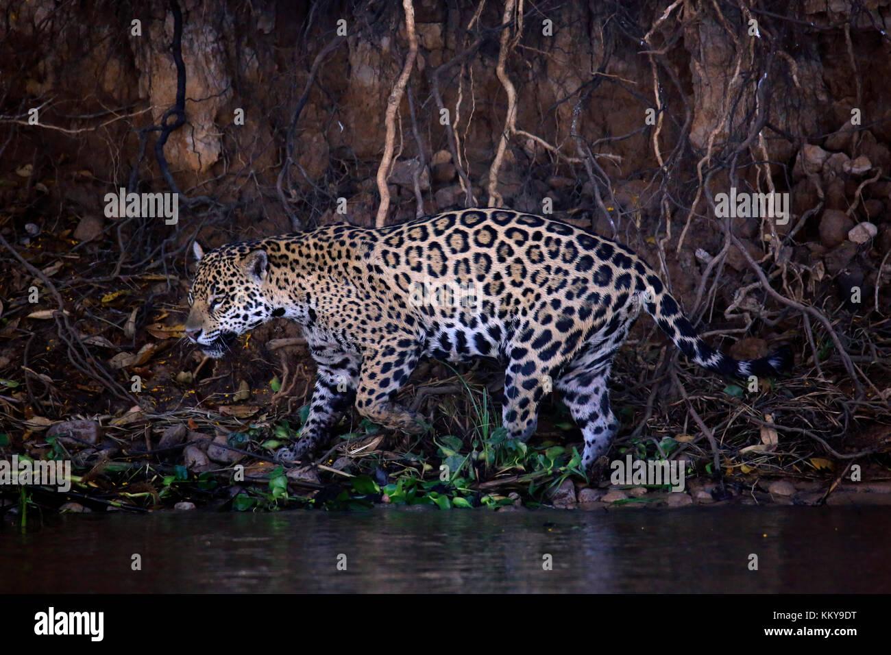 Jaguar Scounting along the River Bank, Pantanal, Brazil - Stock Image