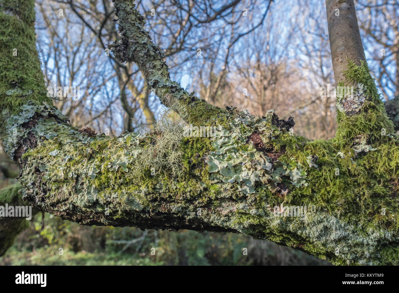 A couple of trypes of lichen on a rural tree branch. - Stock Image