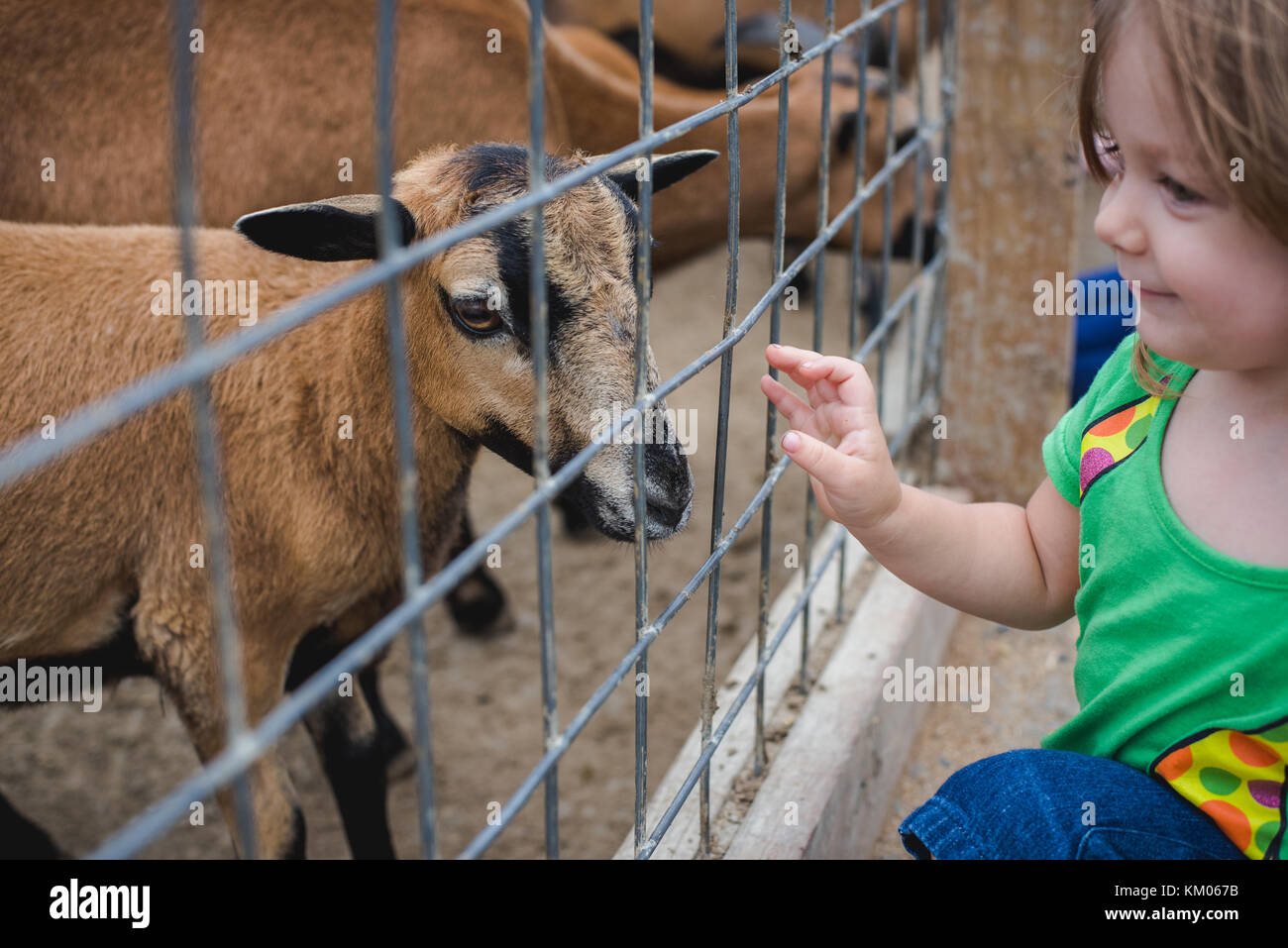 A little girl feeds goats at a petting zoo - Stock Image