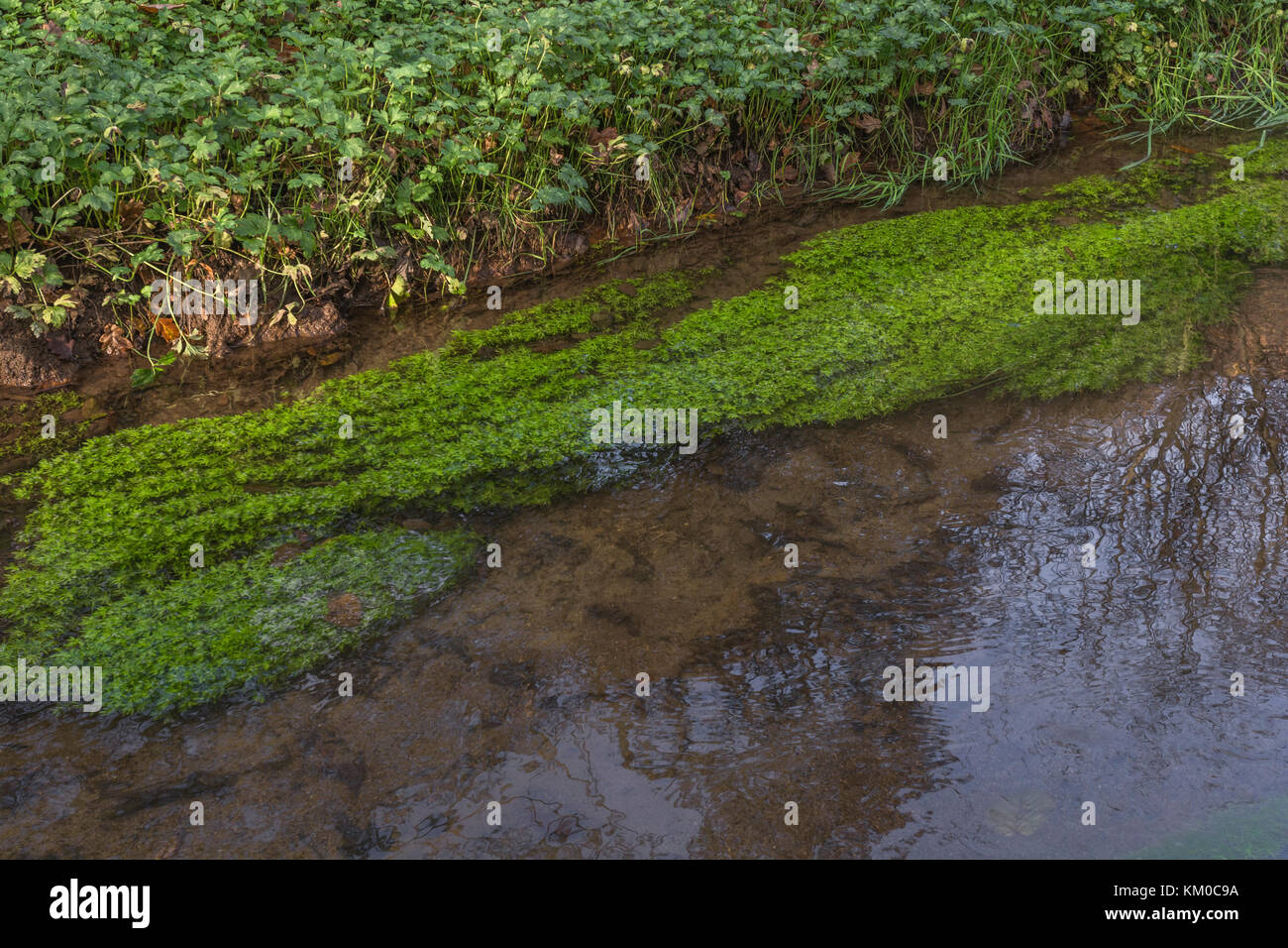 Water Starwort (Callitriche agg. - probably C. hamulata) in large, flowing, rivulet - see additional botanical notes - Stock Image