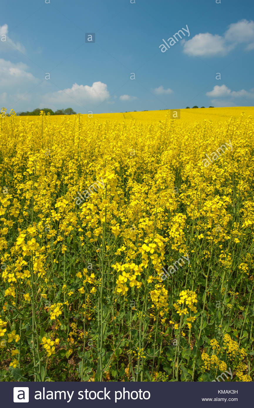 Yellow flowers,rapeseed for oil. In Latin it is Brassiaca Napus. - Stock Image