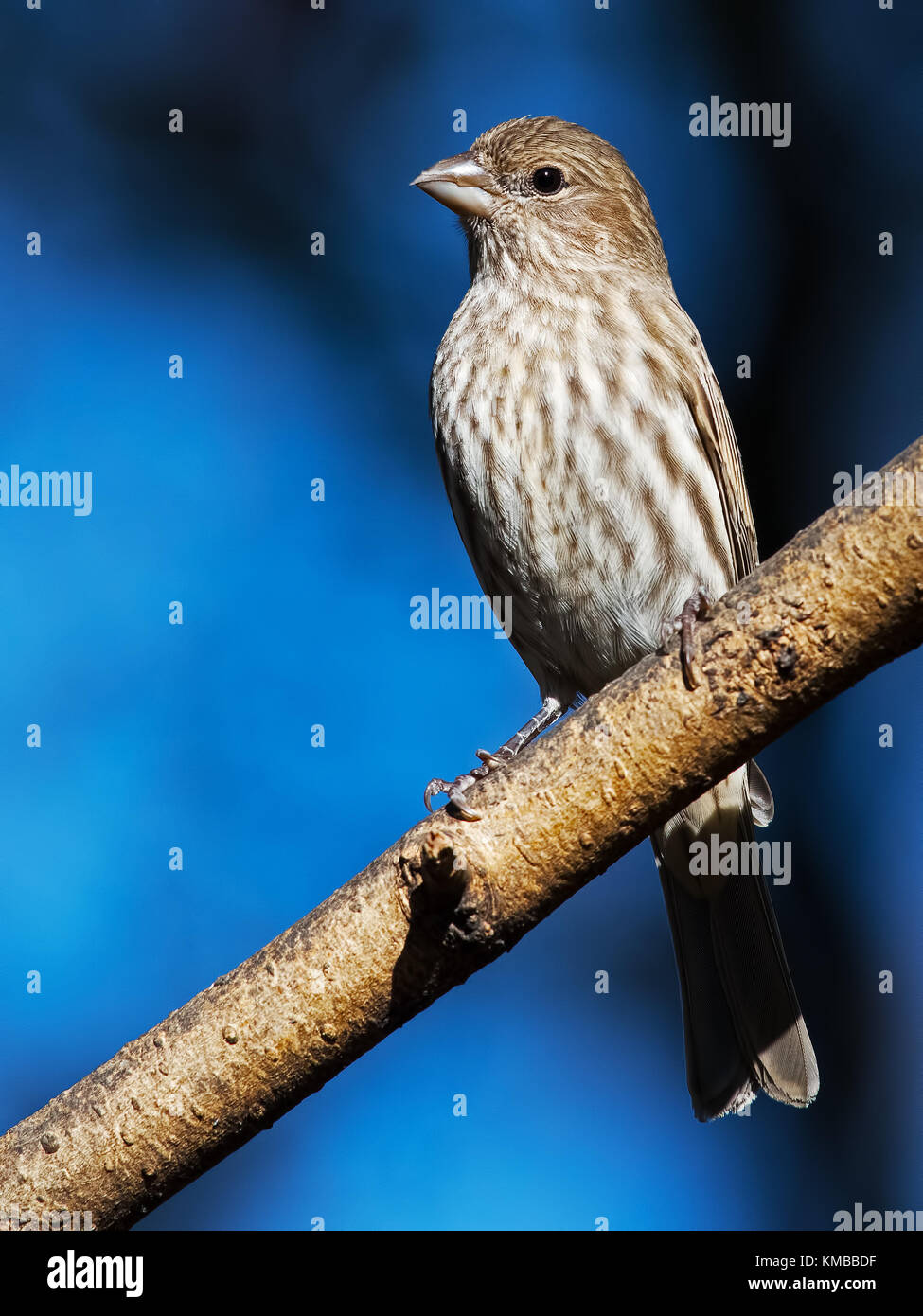 Female House Finch - Stock Image