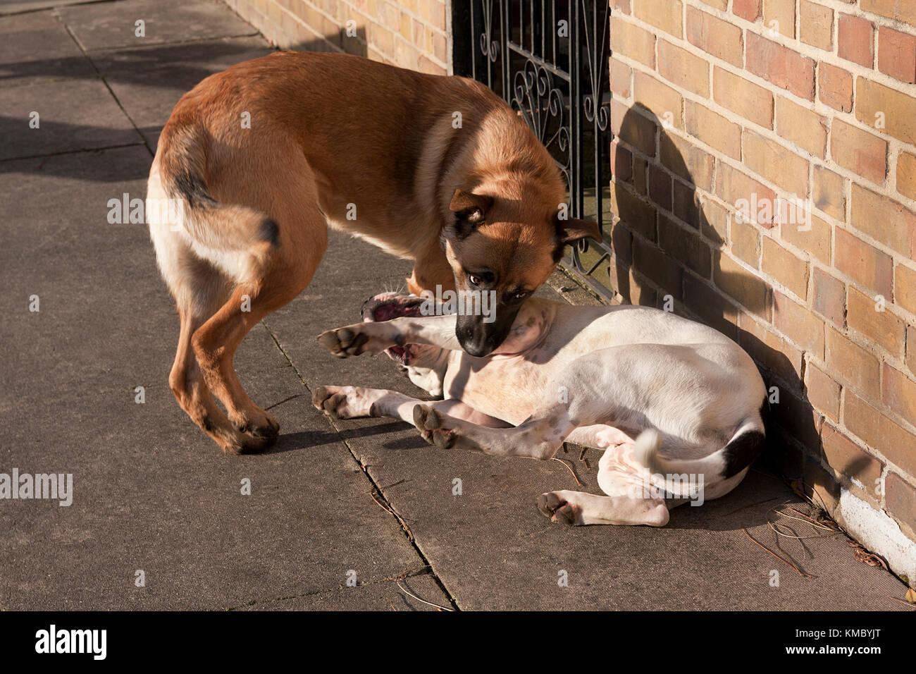 Greek Island Dangerous Farm Dogs