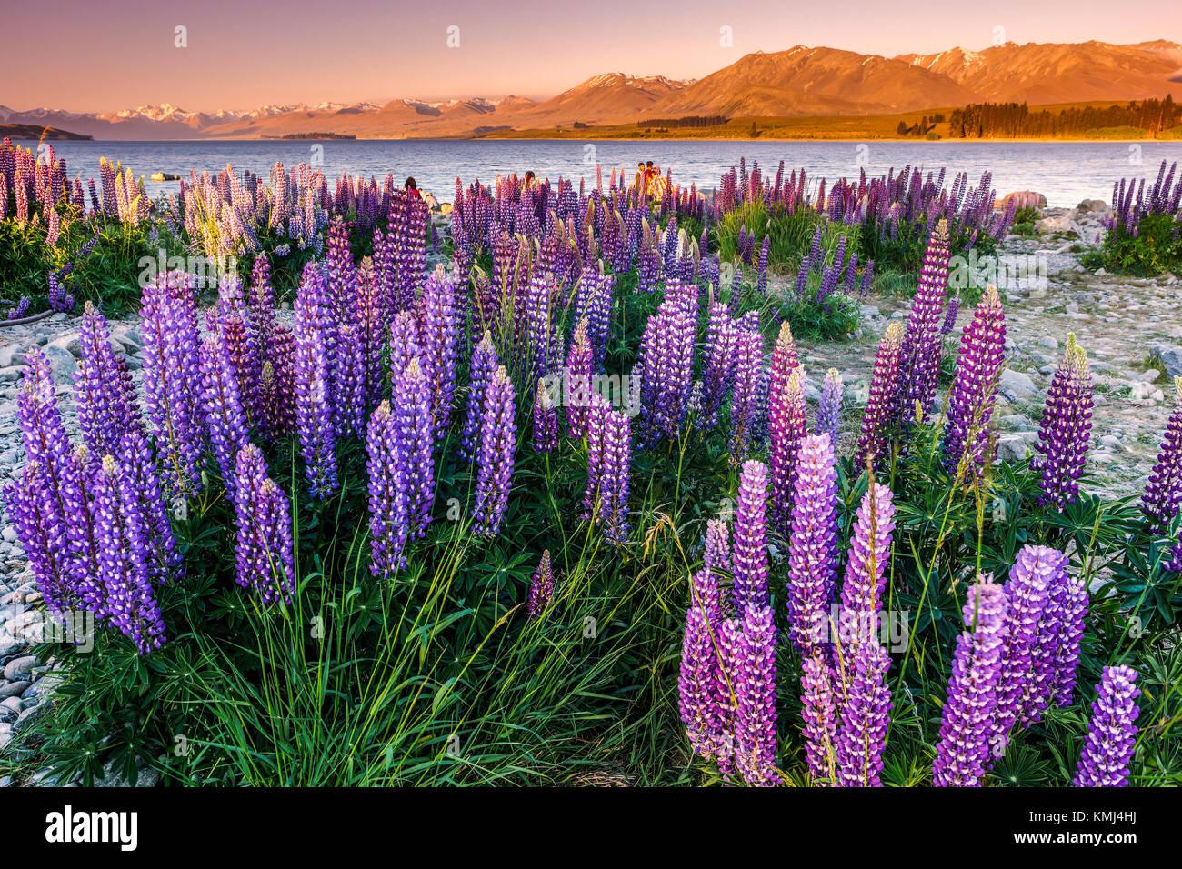 Lupins at Lake Tekapo, Mac Kenzie Country, New Zealand. - Stock Image