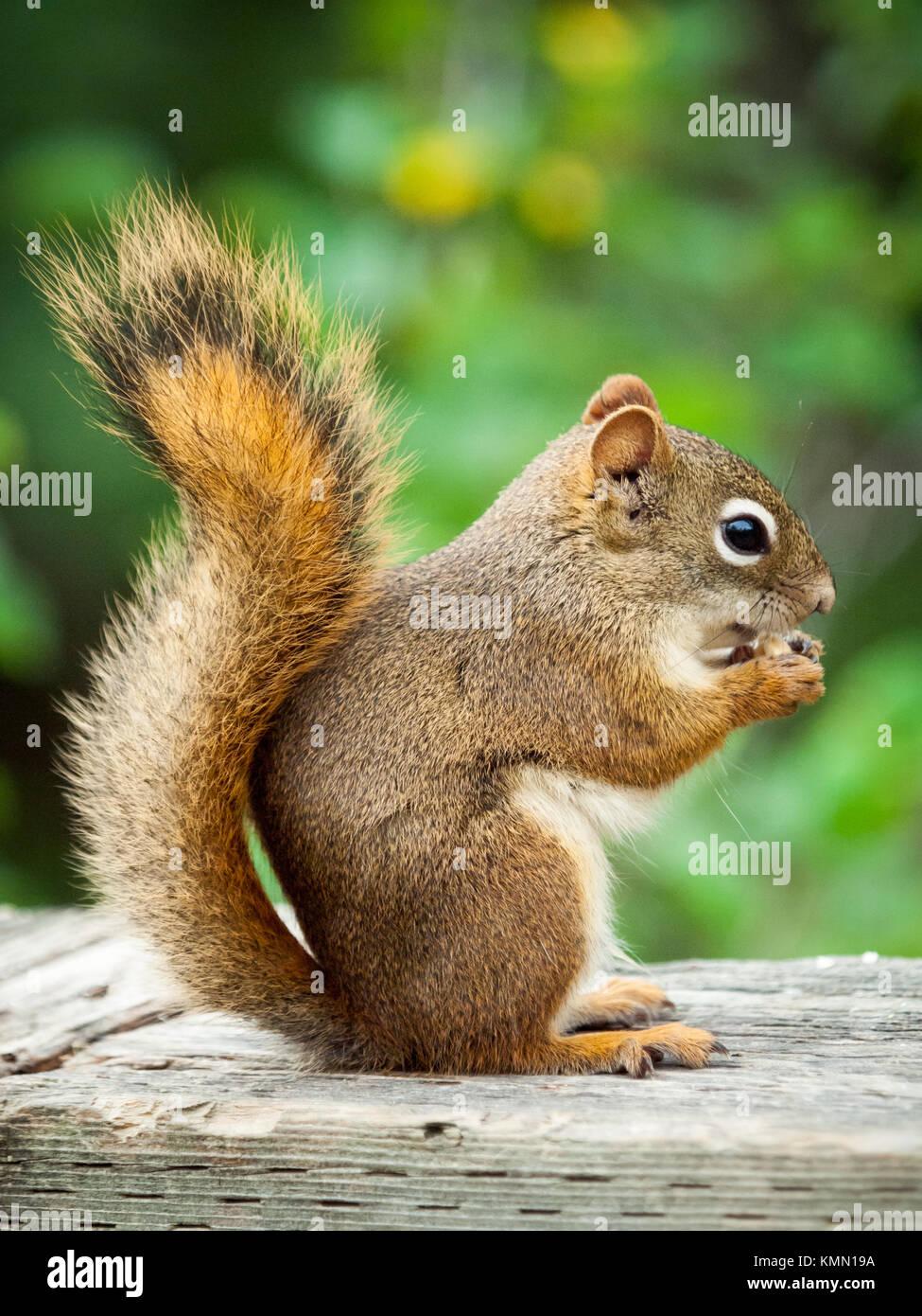 An American red squirrel (Tamiasciurus hudsonicus), in squirrel profile, feeding at Whitemud Park and Nature Reserve - Stock Image