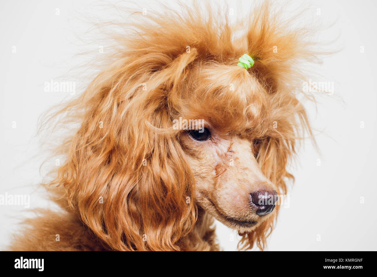 Great Fur Brown Adorable Dog - adorable-mini-toy-poodle-with-golden-brown-fur-on-a-white-background-KMRGNF  Trends_551494  .jpg