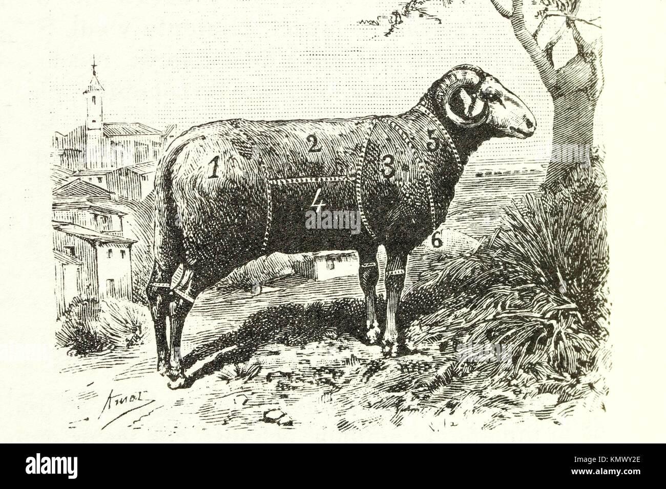 Mutton Antique illustration 1892 - Stock Image