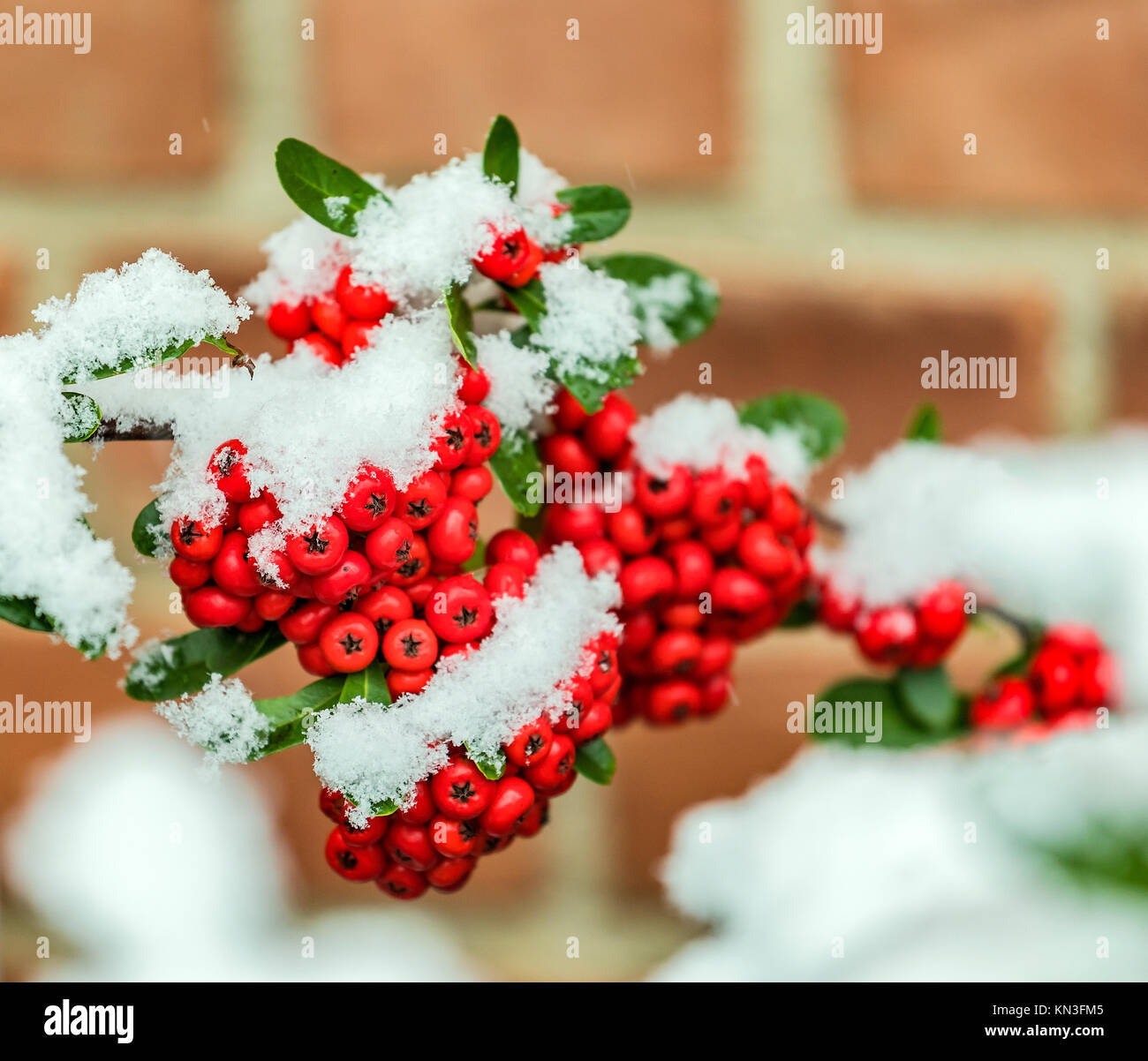 Bunch of rowanberries covered by snow Stock Photo