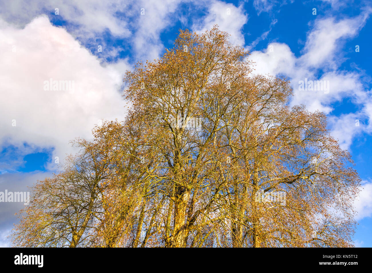 Bare branches of tall Plane trees. - Stock Image
