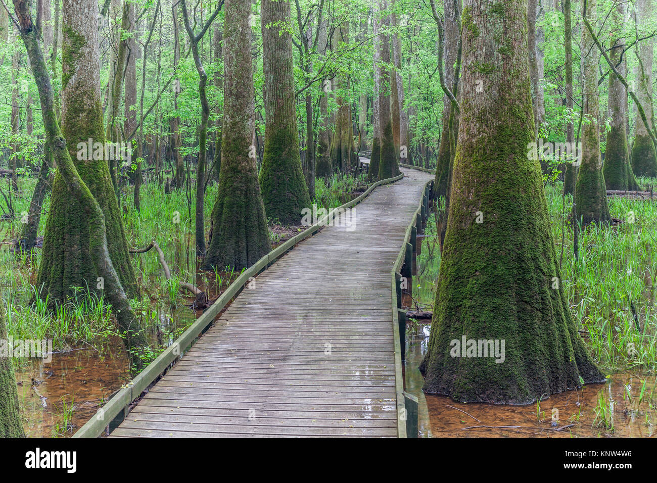 Congaree National Park, low boardwalk through moss covereed Water Tupelo in spring. Stock Photo