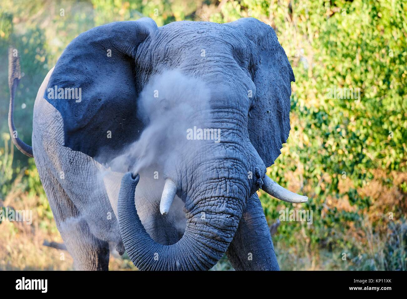 African elephant bull spraying dust on injured eye to minimize fly annoyance (Loxodonta africana), Moremi National - Stock Image