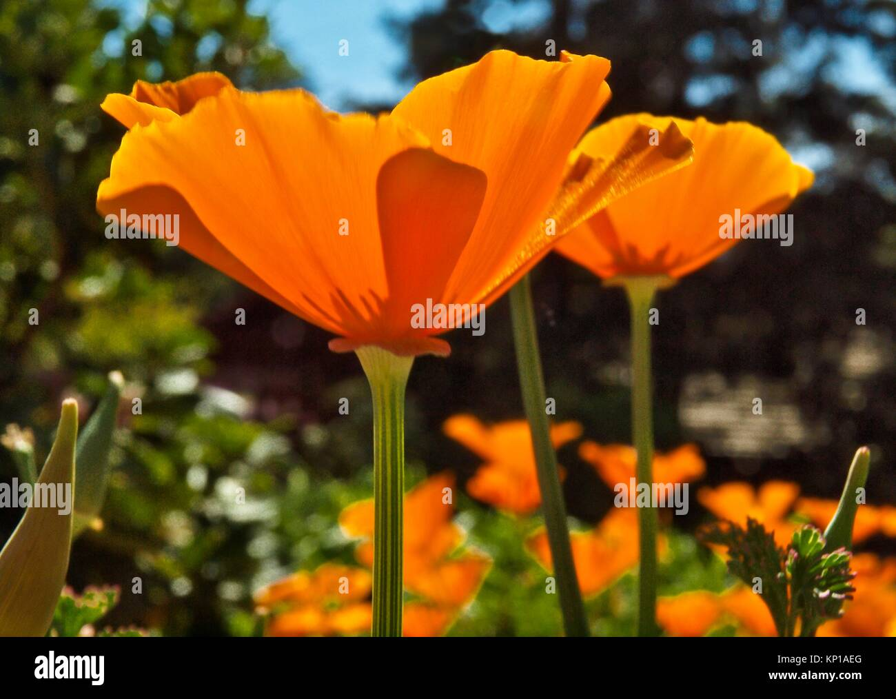 Golden poppy stock photos golden poppy stock images alamy california golden poppy eschscholzia californica is the state flower of california stock mightylinksfo Gallery