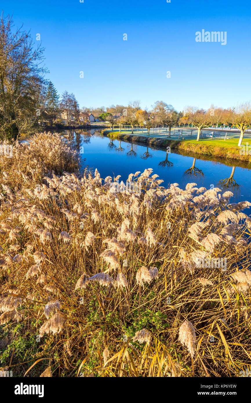 Wild Pampas Grass on riverside - France. - Stock Image