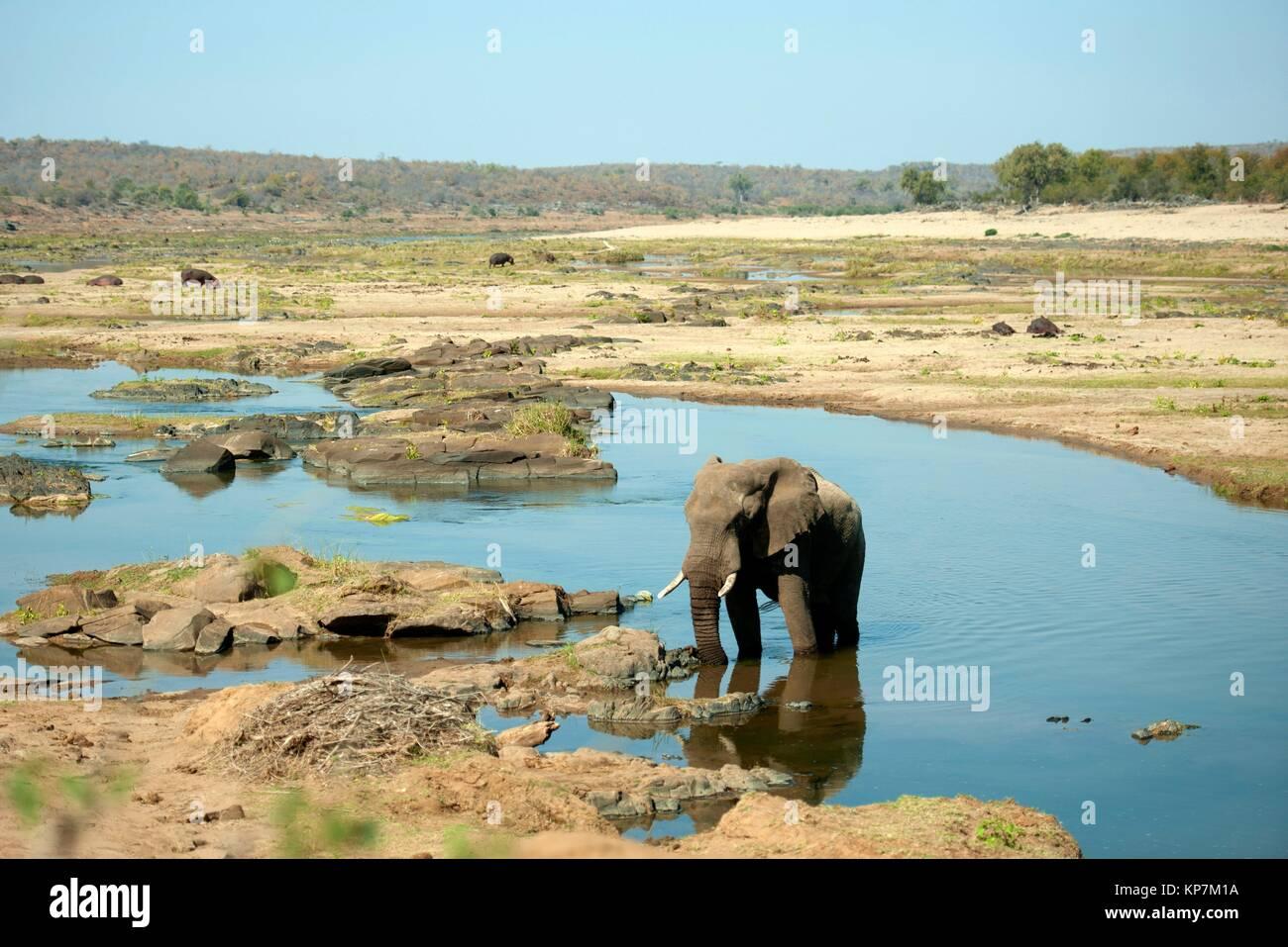 Elephant (Loxodonta africana) in river with Hippopotami (Hippopotamus amphibius) in background, Kruger National - Stock Image
