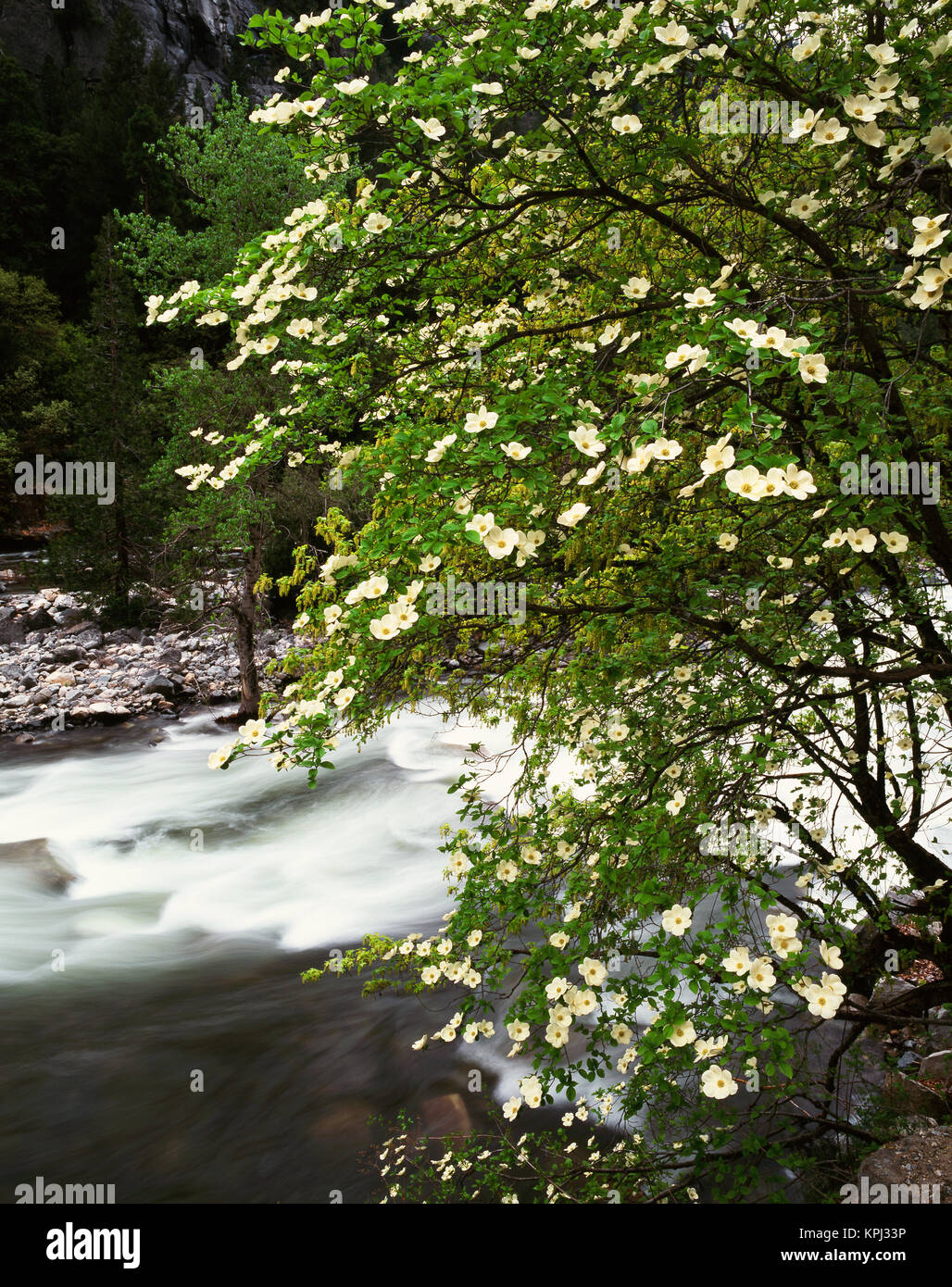Dogwood Tree Vertical Nobody Stock Photos & Dogwood Tree Vertical ...