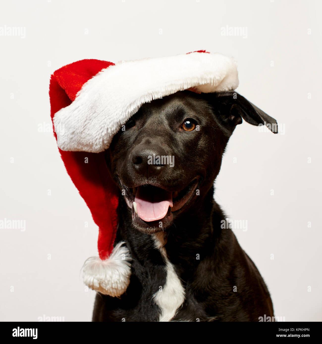 Dog close up wearing Santa Hat - Stock Image