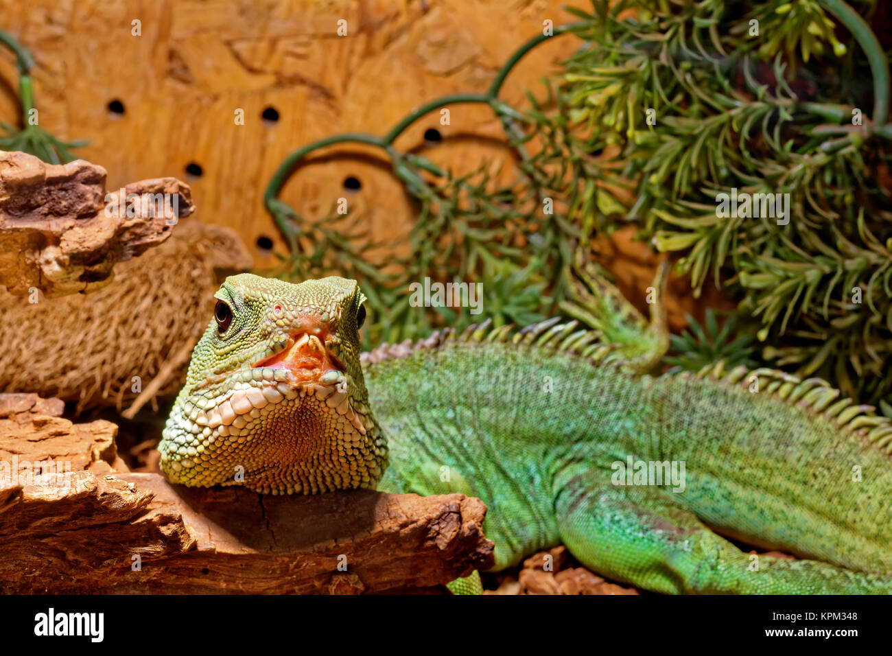 Reptile In The Terrarium Chinese Water Dragon Stock Photo