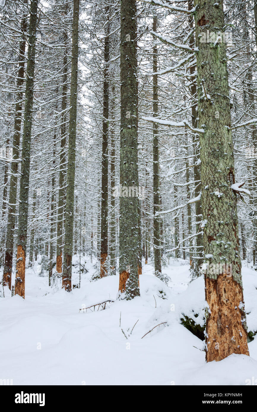 Taiga forest in winter conditions with trees showing signs of bark damage caused by browsing moose (North America) - Stock Image
