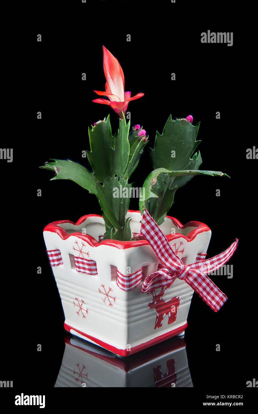 christmas-cactus-schlumbergera-buckleyi-