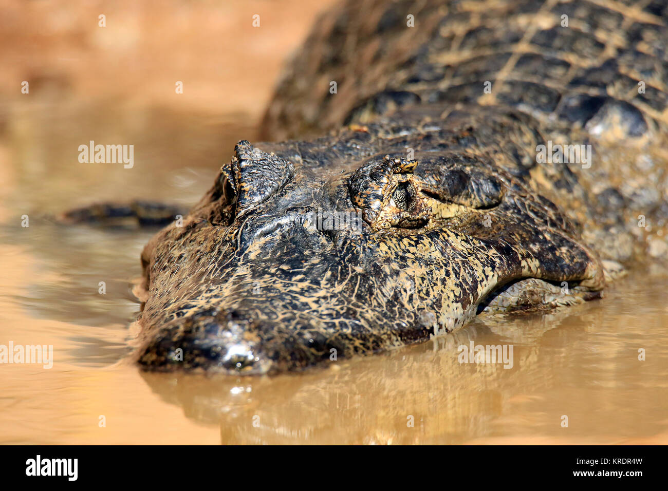 Close-up of a Spectacled Caiman in Water. Rio Claro, Pantanal, Brazil - Stock Image