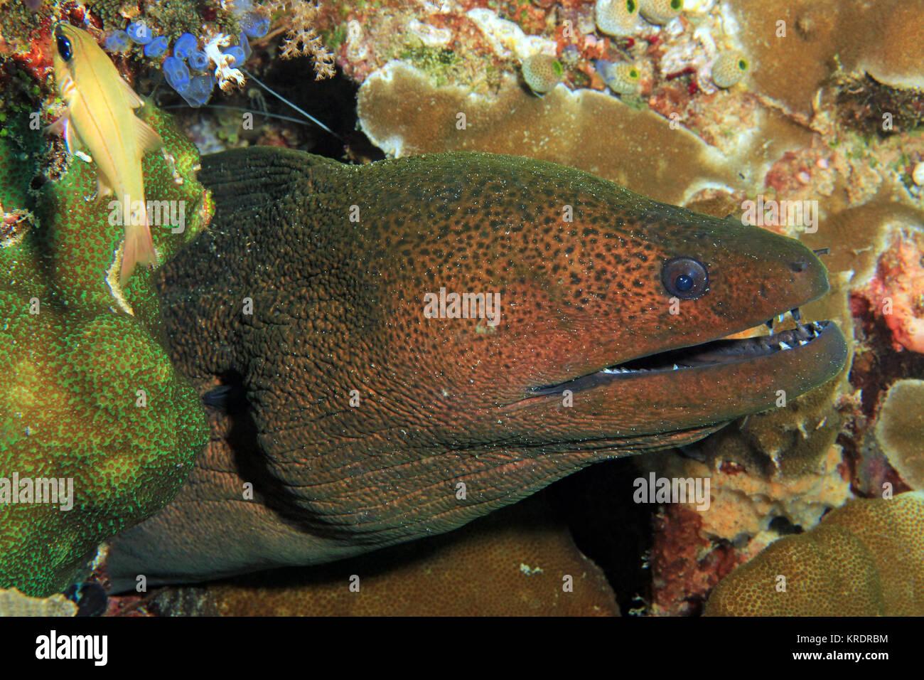 Giant Moray Eel (Gymnothorax javanicus). Raja Ampat, Indonesia - Stock Image