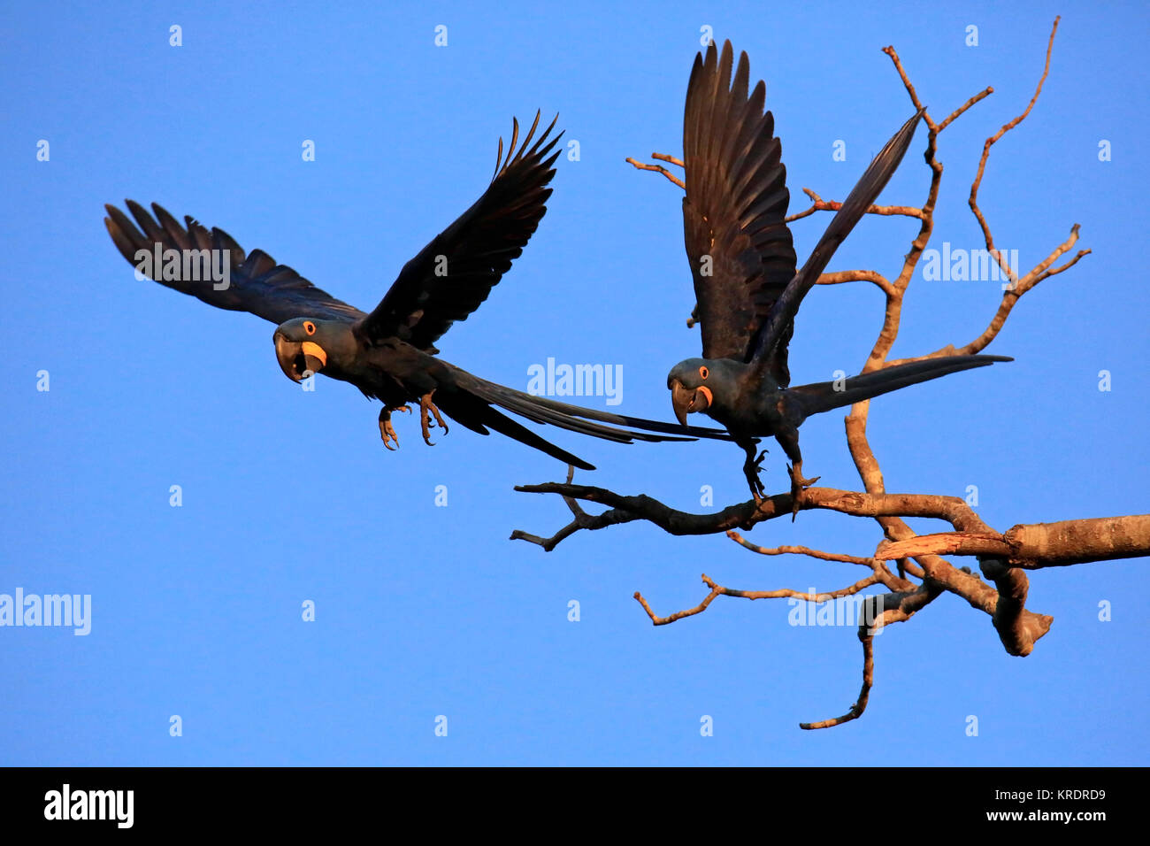 Two Hyacinth Macaws Taking Off from a Branch. Pantanal, Brazil - Stock Image