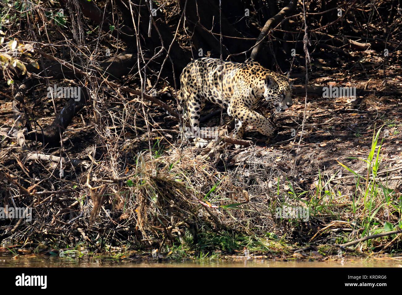 Jaguar Walking along the River Bank, Pantanal, Brazil - Stock Image
