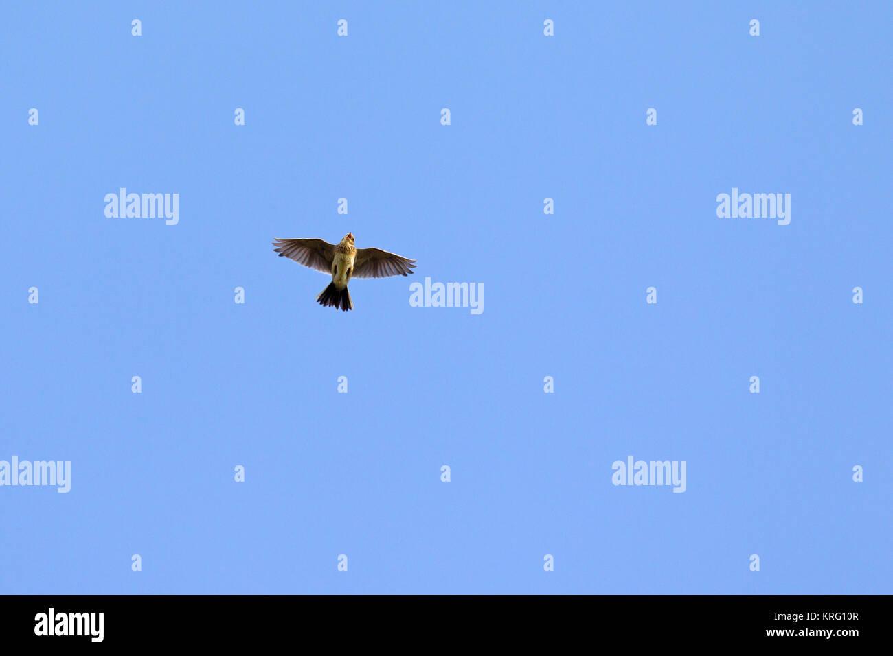 Singing Eurasian skylark / common skylark (Alauda arvensis) in flight against blue sky - Stock Image