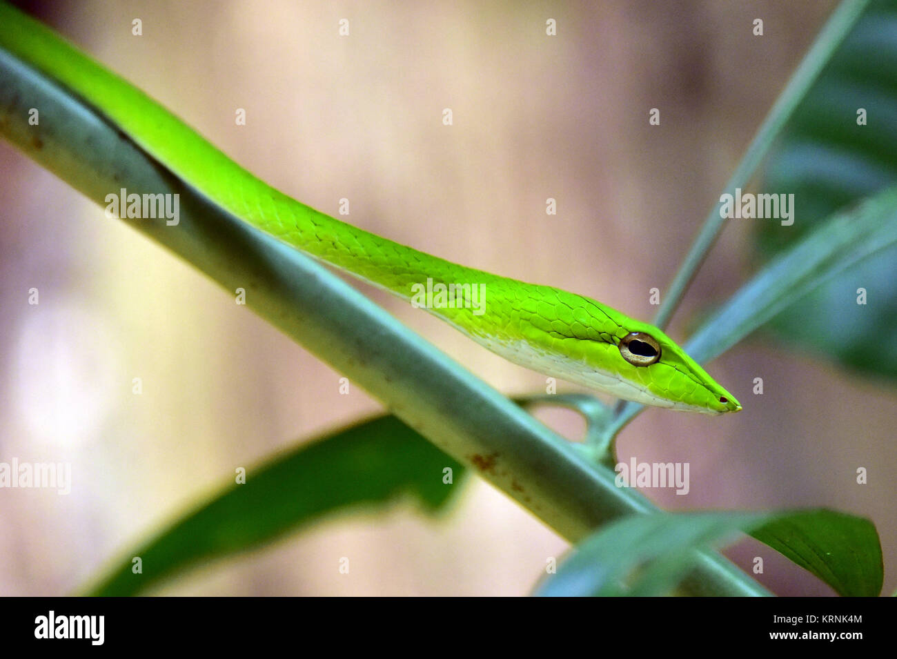 Oriental Whip Snake - Stock Image