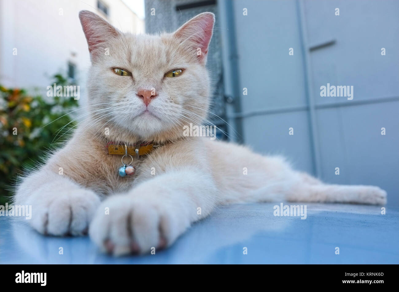 cat-resting-on-the-roof-of-a-car-and-looking-at-the-camera-KRNK6D.jpg