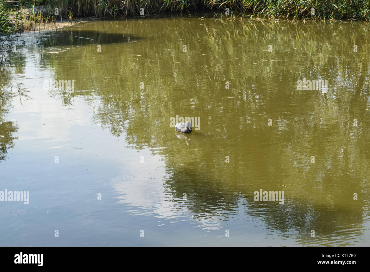Pond with ducks artificial. Plastic dummies ducks in the pond - Stock Image