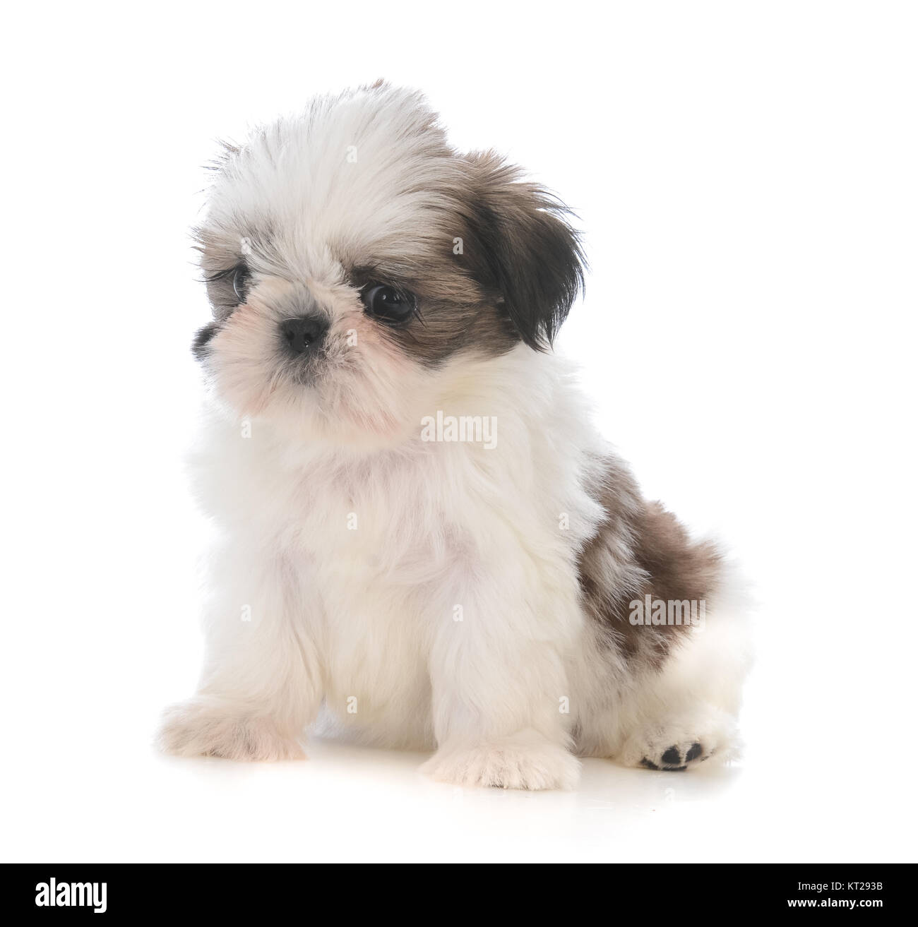 Cute Shih Tzu Puppy Sitting Isolated On White Background Stock Photo