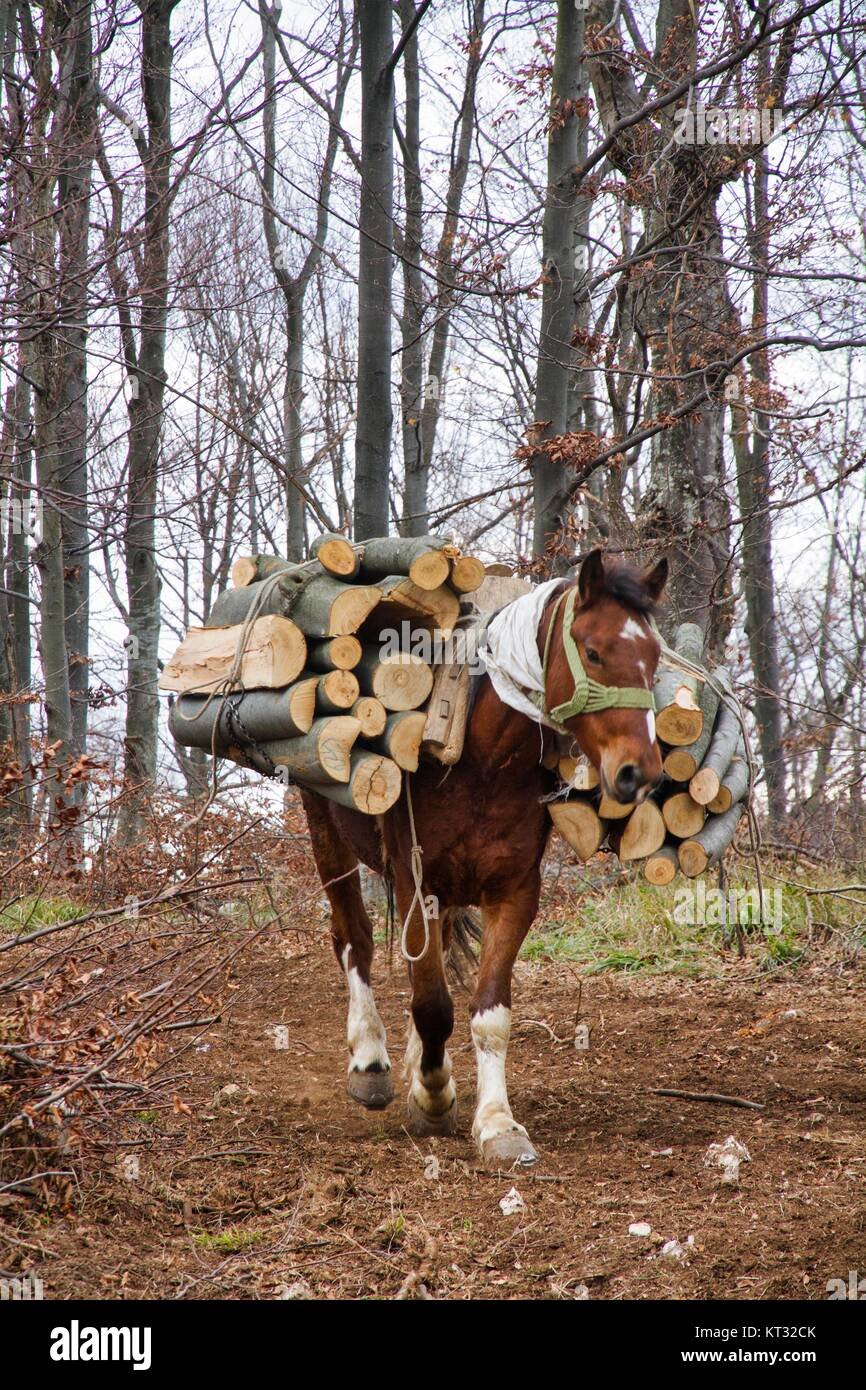 Wood choppers in Boljevac, Serbia - Stock Image