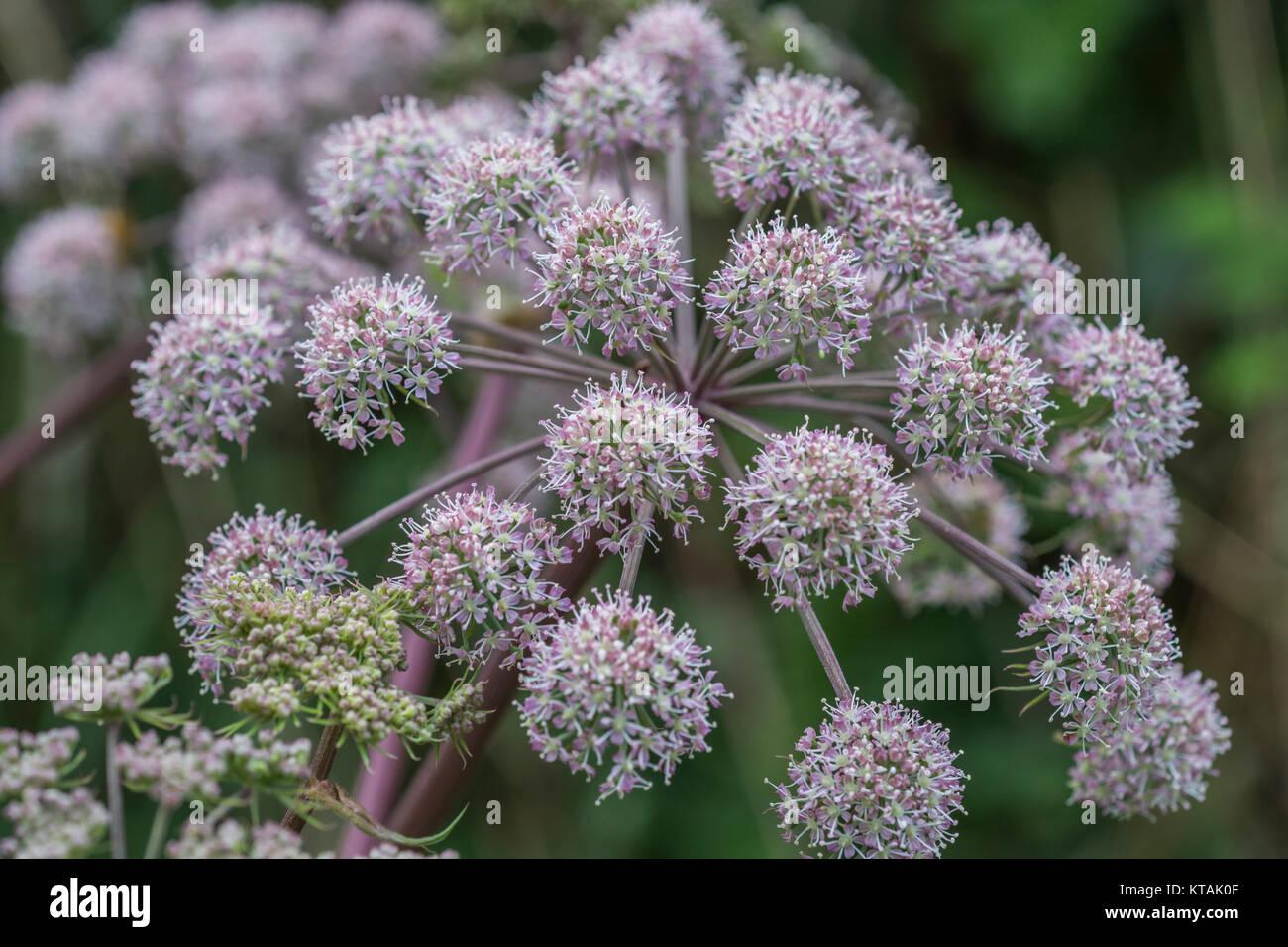 Flower head of Wild Angelica (Angelica sylvestris). - Stock Image