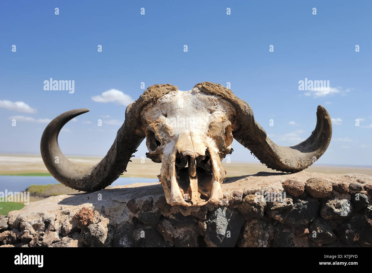 Old Buffalo Skull Stock Photos Amp Old Buffalo Skull Stock