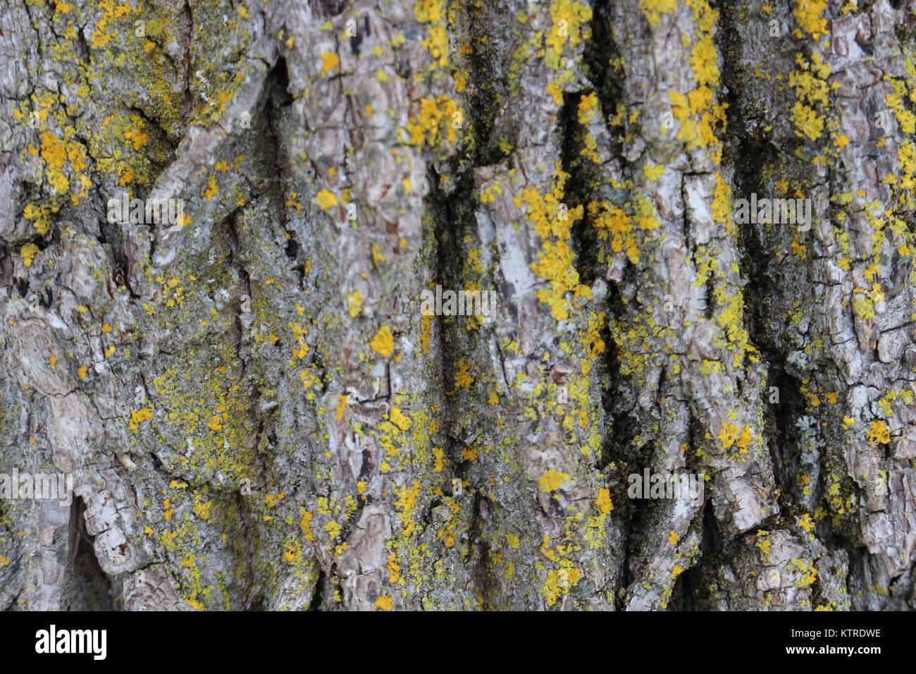 cool abstract bark background with some yellow fungus on it - Stock Image