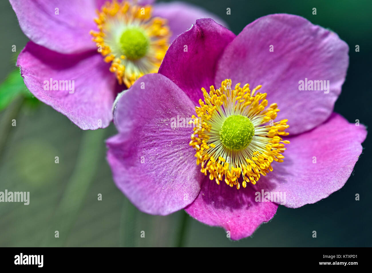 Flowers Of The World - Forget Me Not - Stock Image