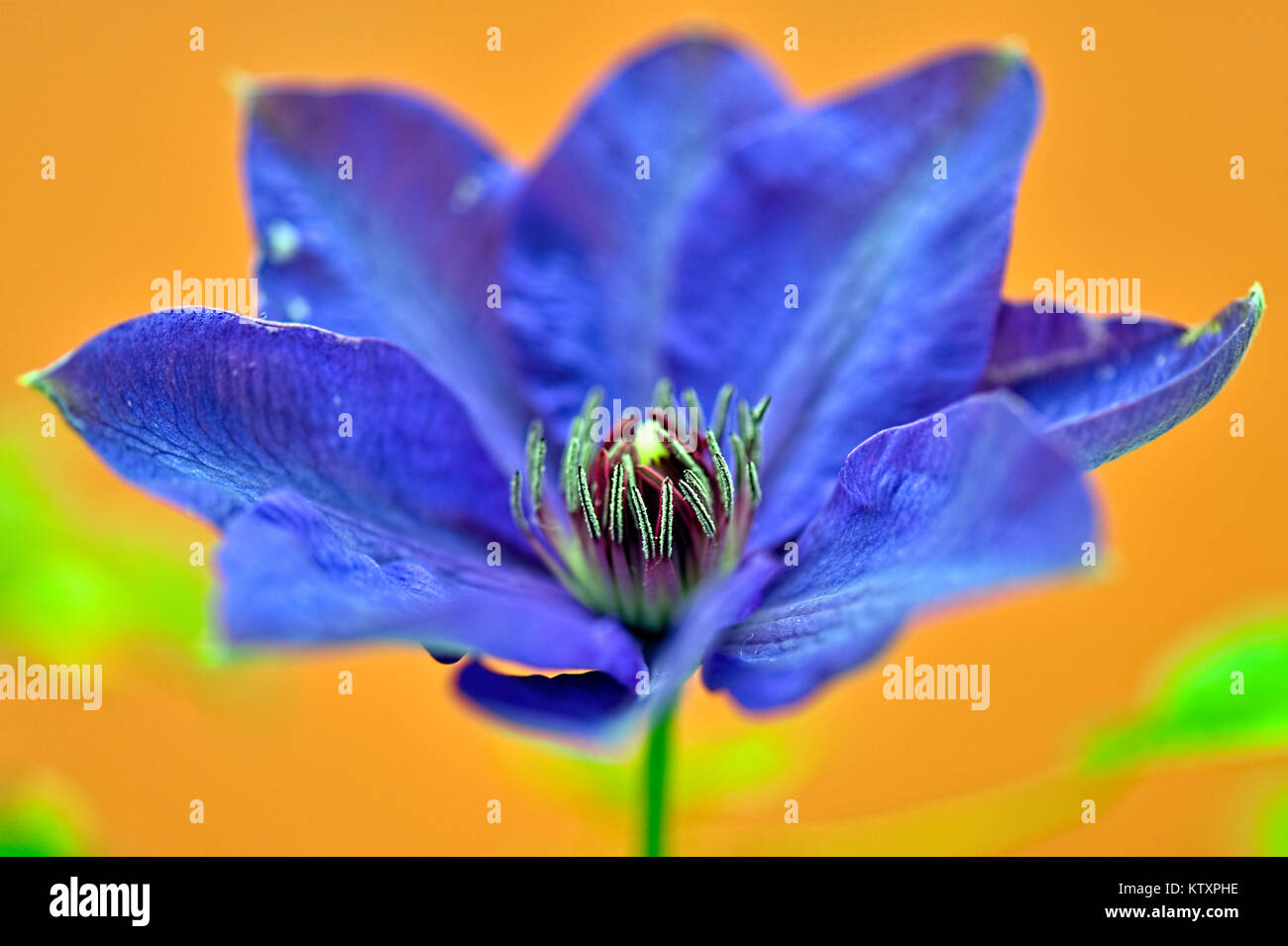 Flowers Of The World -Pasque - Stock Image