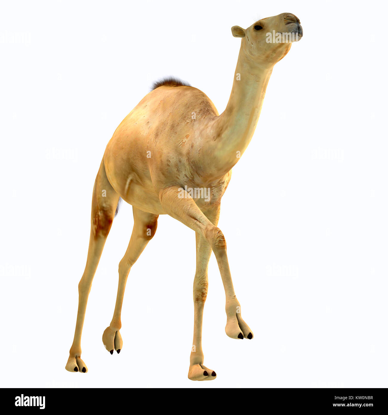 Camelops hesternus on White - Camelops was a camel-type herbivorous animal that lived in North America during the - Stock Image