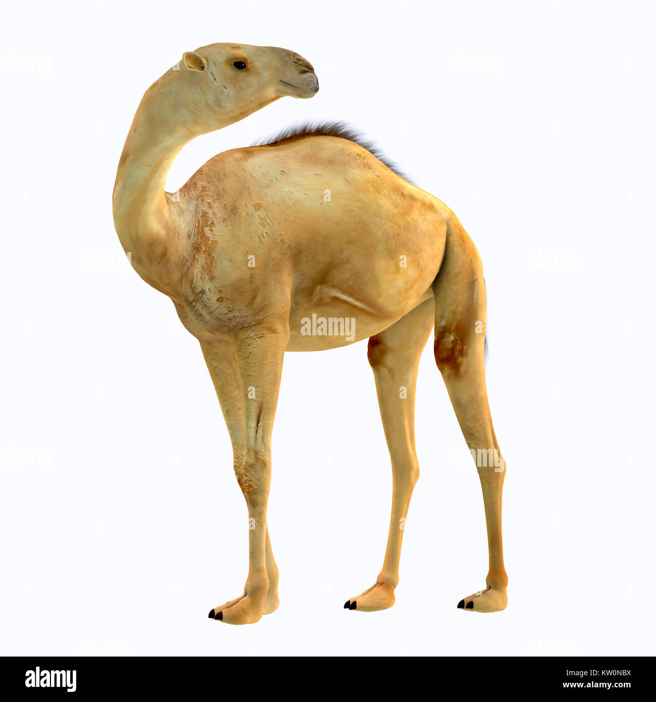 Camelops hesternus Side Profile - Camelops was a camel-type herbivorous animal that lived in North America during - Stock Image