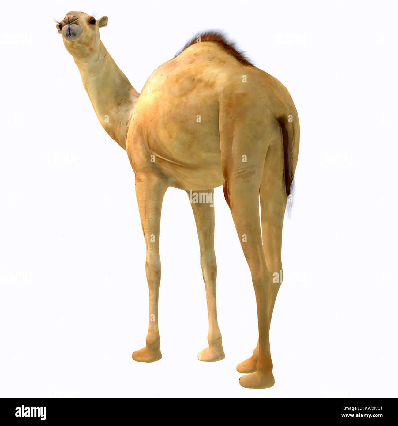 Camelops hesternus Tail - Camelops was a camel-type herbivorous animal that lived in North America during the Pleistocene - Stock Image