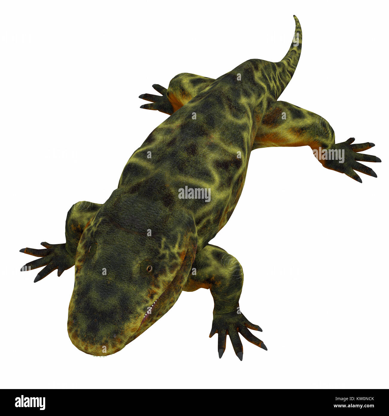Eryops was an semi-aquatic ambush predator much like the modern crocodile and lived in Texas, New Mexico and the - Stock Image