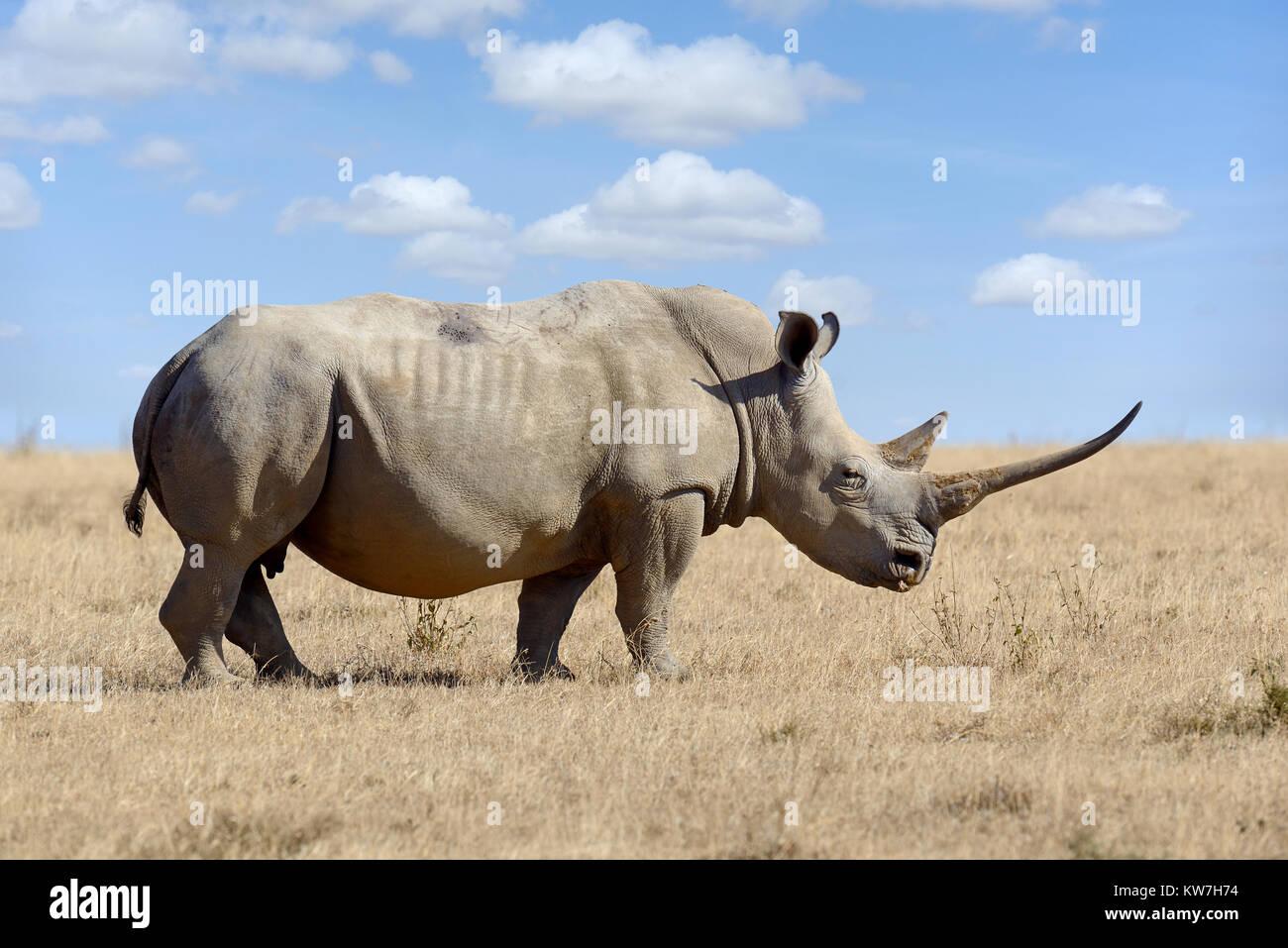 African white rhino, National park of Kenya, Africa - Stock Image