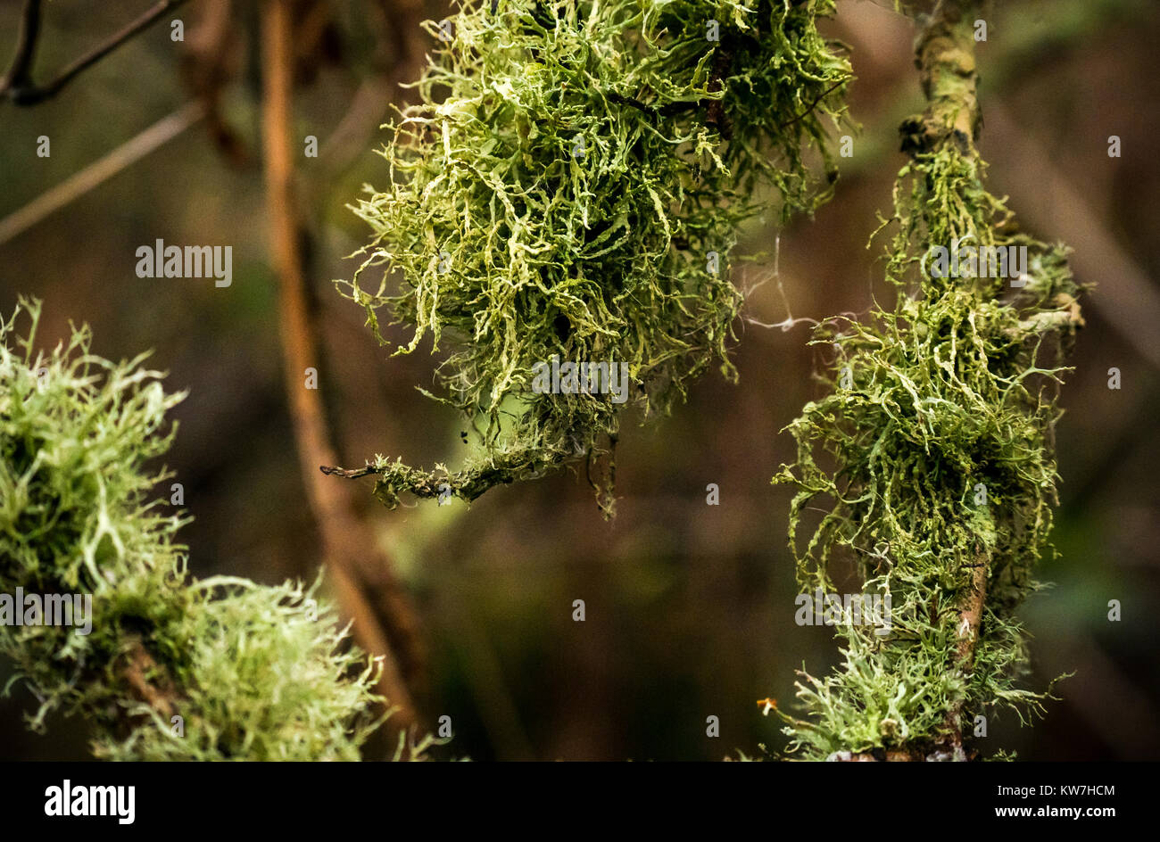 close-up-of-dolichousnea-longissima-old-